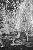 Reed in Water Monochrome Stock Images