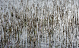 Reed in Water - Structure - Graphic Royalty Free Stock Image