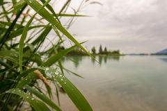 Reed with waterdrops. At forggensee, fuessen in allgaeu royalty free stock photos