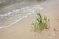 Reed in wet sand on the seashore Royalty Free Stock Image