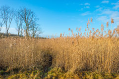 Reed in a wetland field Stock Photos