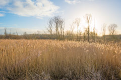Reed in a wetland field Royalty Free Stock Images