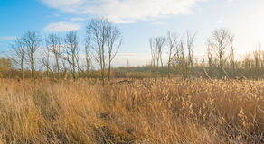 Reed in a wetland field. Reed in a field in wetland in winter Royalty Free Stock Photography