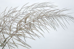 Reed. On the white background Stock Photos
