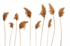 Reed in white background Royalty Free Stock Photos