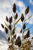 Reed in the wind Royalty Free Stock Images