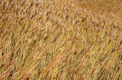 Reed in the wind Stock Image