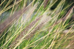 Reed in the wind. Closeup of reeds in wind with shallow depth of field to create a feel of abstract and randomness.n Stock Photo