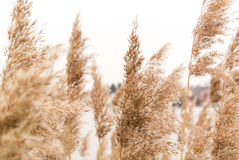 Reed in the wind royalty free stock photography
