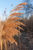 Reed on wind Royalty Free Stock Photo