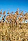 Reed in the wind. River reeds swaying in the spring breeze at sunset Royalty Free Stock Image