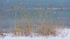 Reed in Wind and Snow stock images