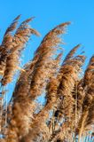 Reed in the wind Royalty Free Stock Photos