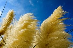 Reed in windy day. From below golden reed on the background of clear sky in windy day royalty free stock photo