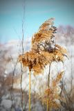 Reed in winter Stock Images