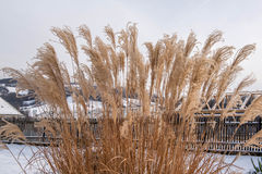 Reed in winter Royalty Free Stock Photography