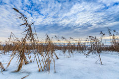 Reed in winter Royalty Free Stock Image
