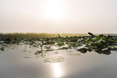 Reed, yellow lilies and water at sunrise Royalty Free Stock Photos