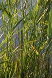 reed, zielona Obrazy Royalty Free