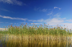 Reedbed Royalty Free Stock Image