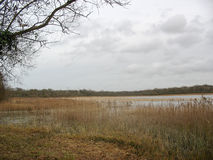 Reedbed near a lake during winter Stock Photography