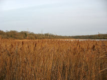 Reedbed near a lake during winter Royalty Free Stock Images