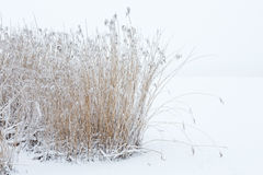 Reedbed in the snow Royalty Free Stock Photo