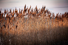 Reedbed at sunrise Stock Photography