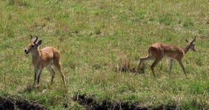 Reedbuck, arundinum do redunca, homem e fêmea do sul ou comuns, Masai Mara Park em Kenya, video estoque