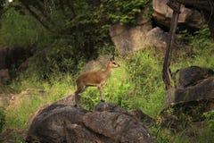 Reedbuck commun Image libre de droits