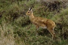 Reedbuck de Bohor, Serengeti Photo libre de droits
