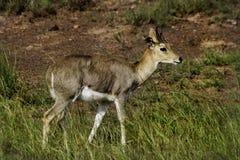 Reedbuck de montagne, Afrique du Sud Photo libre de droits
