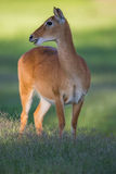 Reedbuck deer in the wild Stock Photos