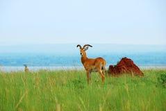 Reedbuck dell'antilope sul lago Albert, Uganda Fotografia Stock Libera da Diritti