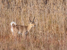 Reedbuck ram in showing off tail Stock Image