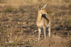 Reedbuck standing alone on burnt grass looking at green sprouts Stock Photography