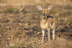 Reedbuck standing alone on burnt grass looking at green sprouts Royalty Free Stock Image