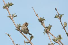 Reedbunting in a tree Stock Photography