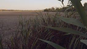 REEDdickichte auf dem Ufer von einem trockenen, flachen See stock video