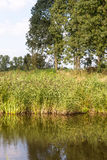 Reeded riverside. Common reed or Phragmites plants growing on the bank of a river and reflected in the smooth water surface Royalty Free Stock Photography