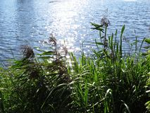 REEDeilgras-Anlage mit Wasser-Fluss-Hintergrund von Sumpfgebiet lizenzfreie stockfotografie