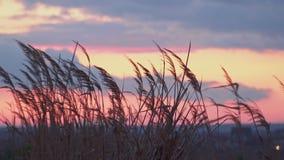 REEDeinfluß vom Wind auf dem Hintergrund eines schönen Himmels bei Sonnenuntergang stock video