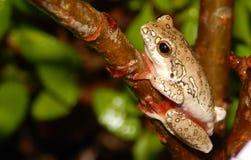 Reedfrog peint se reposant sur une brindille Images libres de droits