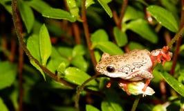 Reedfrog peint se reposant sur une tige d'usine Photo libre de droits