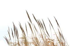 Reedgras Stockbild