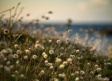 Reedgras bij de overzeese kust royalty-vrije stock afbeelding