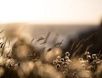 Reedgras bij de overzeese kust stock afbeeldingen