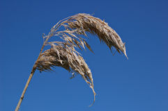 Reedhead inoperante Fotografia de Stock Royalty Free