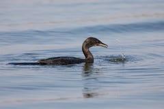 REEDkormoran, der auf Wasser während Schwalbenfische schwimmt Stockbild