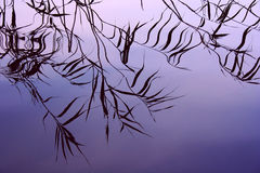 reeds вода отражения стоковое фото